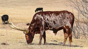 Raising Beef Cattle Beginners