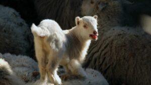 best tasting sheep breed